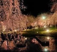 花見 真鶴 しだれ桜 荒井城址公園
